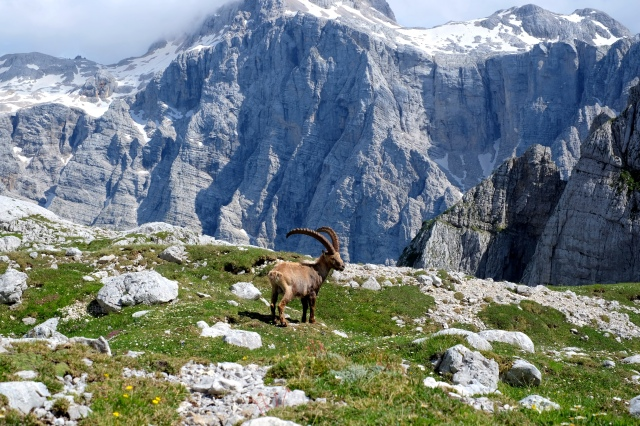 An Alpine ibex proudly standing before Triglav.