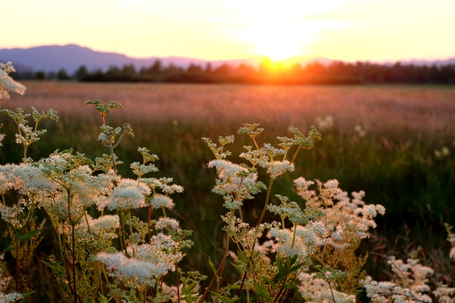 Sunset at the Ljubljana Marshes, summer, flowers