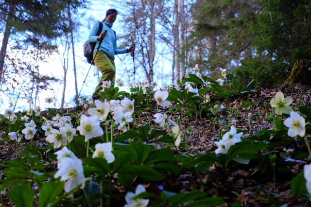 Walking in the forest, hellebores, woman, Golica, Slovenia