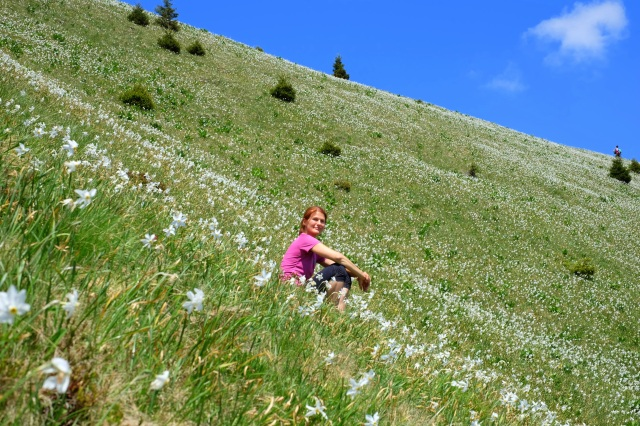 A woman hiker rests among narcissi in the mountains; Golica, Slovenia, narcise