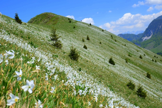 This hike will blow your mind: Golica and endless fields of Narcissi, Exploring Slovenia