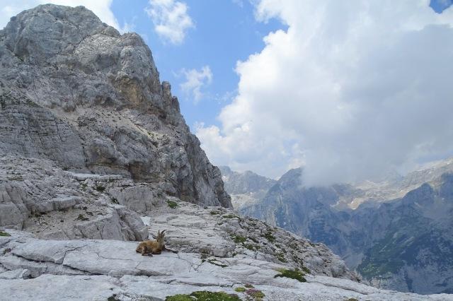 A chamois in Julian Alps, Triglav National Park