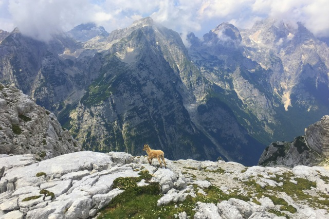 A young chamois in Julian Alps, Triglav National Park