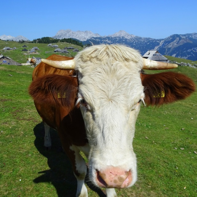 A happy cow on Velika Planina