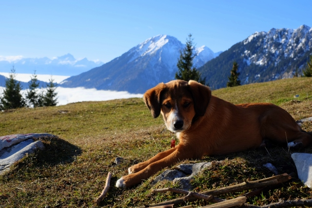 A puppy in the mountains, Kofce, the Karawanks, Slovenia