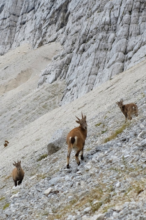 Chamois in Julian Alps, Slovenia