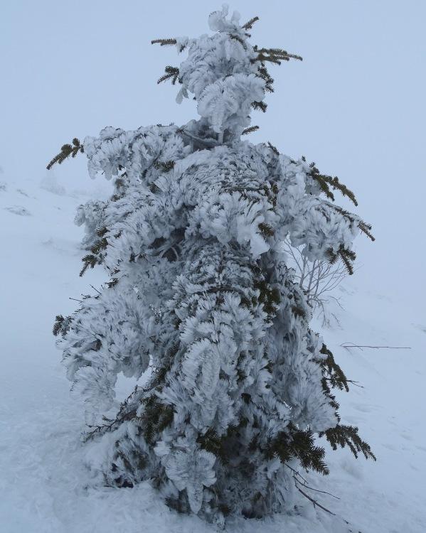 A frozen tree on the way to Snežnik, Slovenia, winter