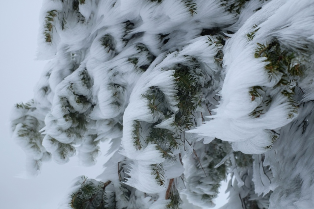 Frozen tree, Snežnik, Slovenia, winter