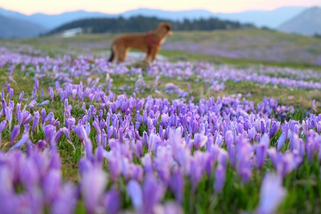 Crocuses on Velika Planina and a dog