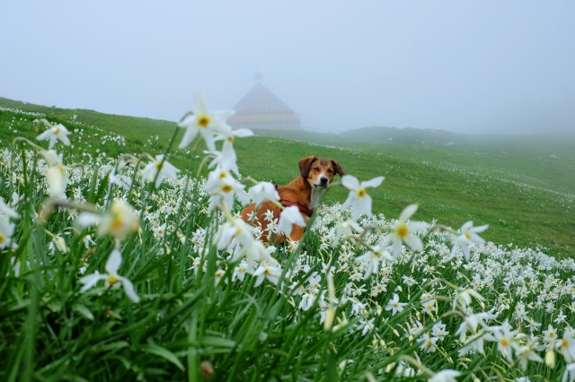 A dog enjoying in a field of wild daffodils on Dovška Rožca, the Slovenian Alps