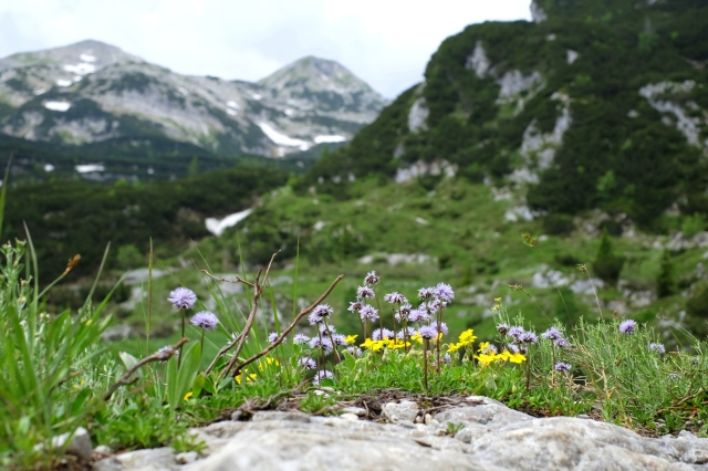Flowers blooming on the way from Komna to Bogatin, Julian Alps, Slovenia, Triglav National Park