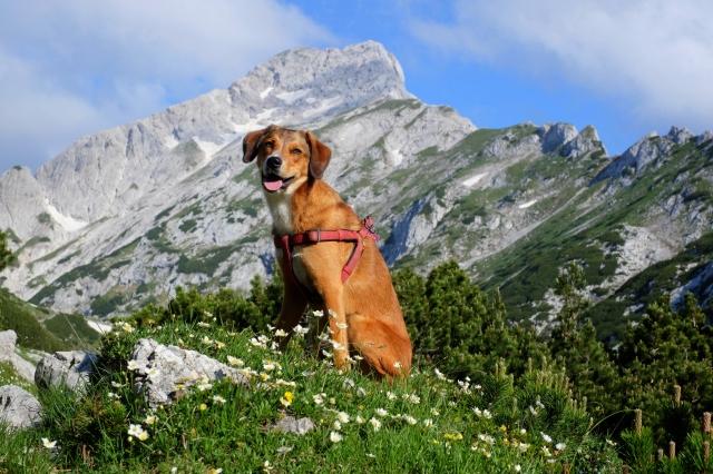 A dog hiking in the Kamnik-Savinja Alps