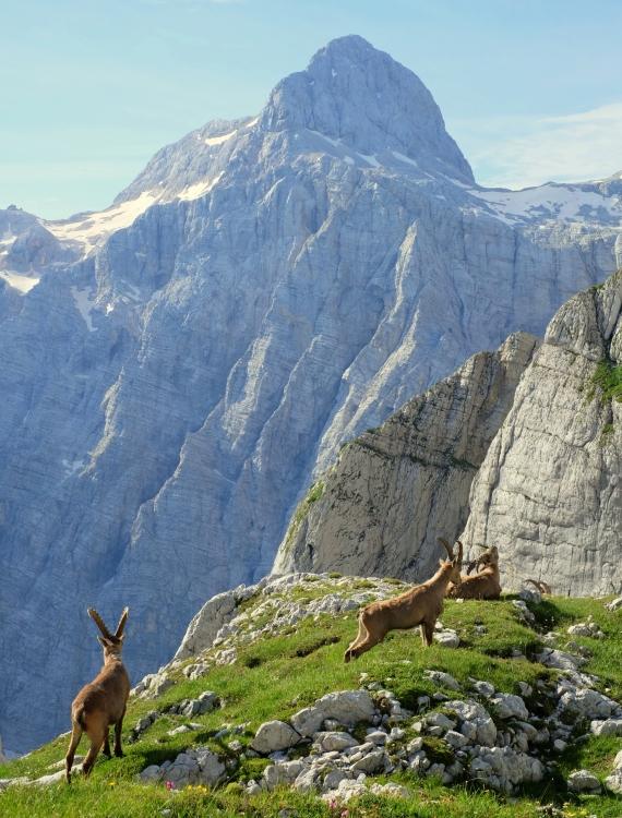 Alpine ibexes with Triglav in the back, Julian Alps, Slovenia