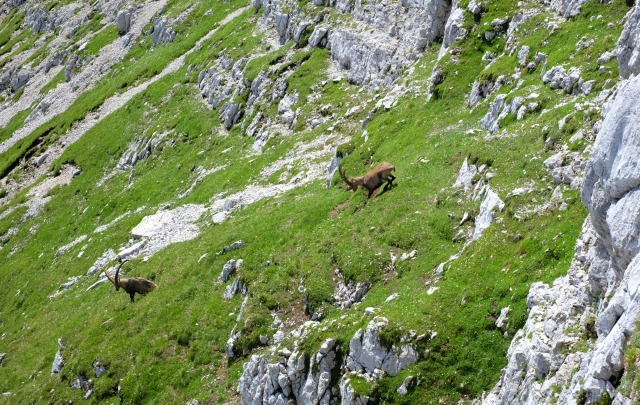 Alpine ibexes in the mountains, Julian Alps, Slovenia