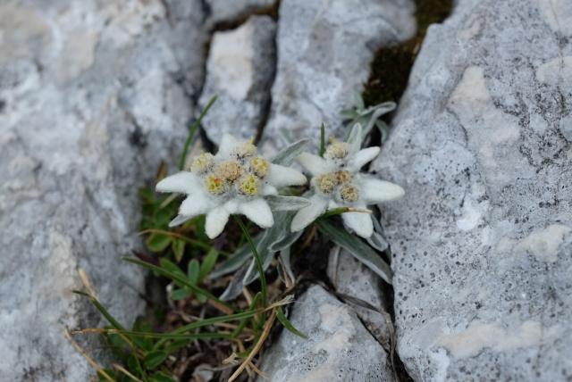 Edelweiss, mountain flowers, Kamnik-Savinja Alps, Slovenia