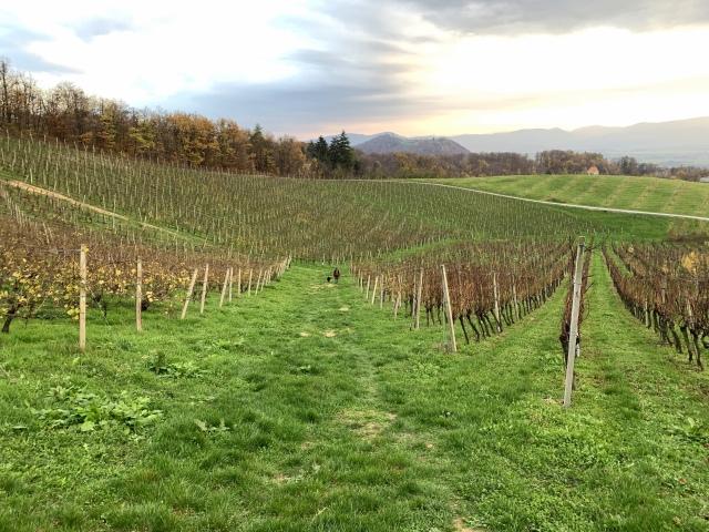 Vineyards in the Krško countryside, Sremič Hill, Slovenia